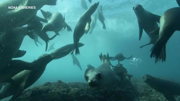 sea-lions-underwater.jpg