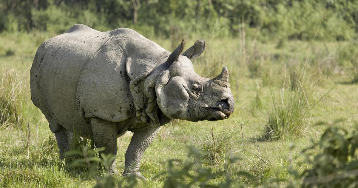 "Nepal's rhino population soars to exciting ""milestone"" amid COVID-19 closures"
