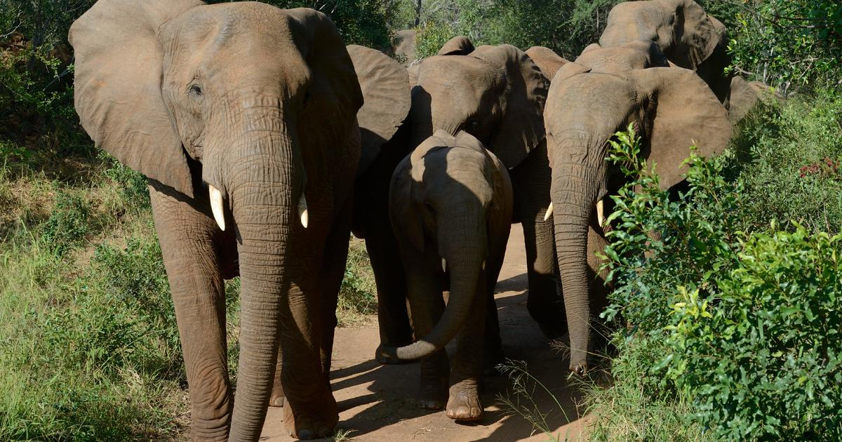 Suspected poacher trampled to death by elephants in South Africa