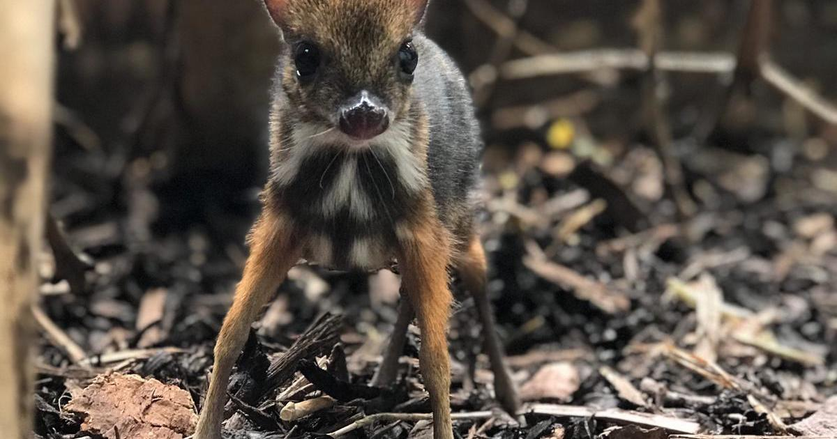 Mouse deer as tall as pencil born at Bristol Zoo