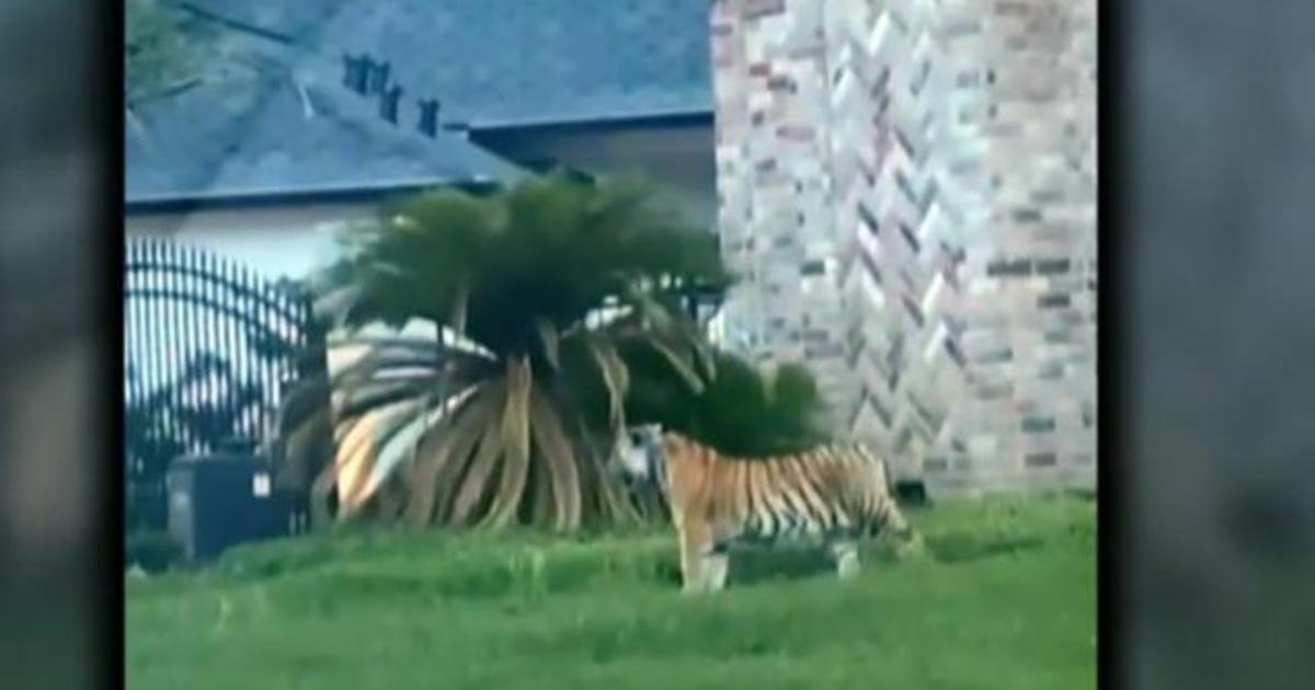Suspect Victor Cuevas in custody after allegedly fleeing police with tiger in Houston - CBS News