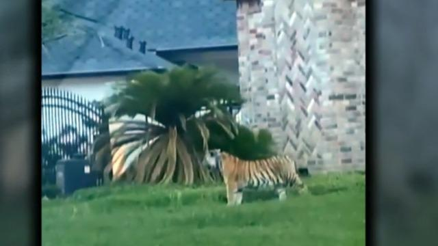 Houston Tiger