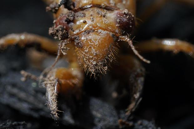 Cicada Explainer