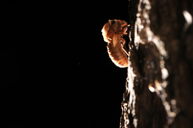 Brood X Cicadas Emerge After 17 Years Underground