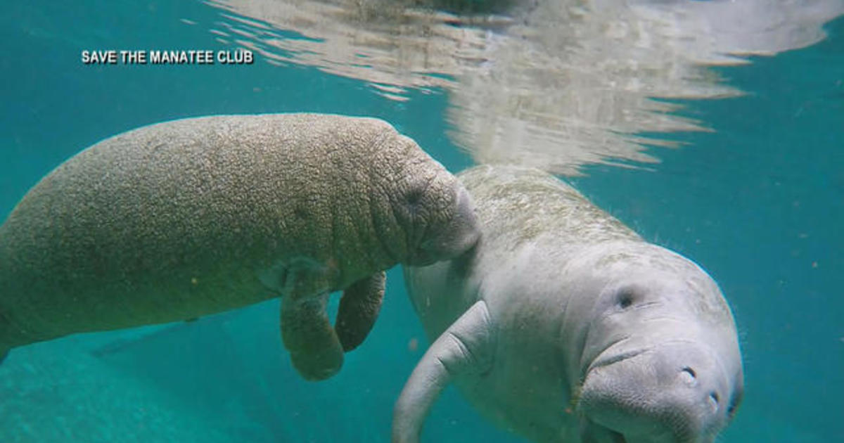 Florida's manatees dying at a high rate