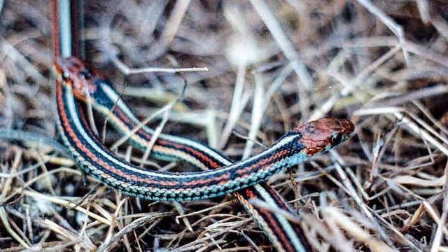 san-francisco-garter-snake.jpg