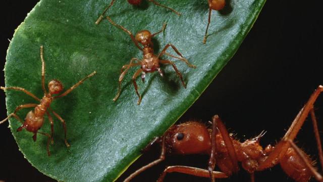 leaf-cutter-ants-mark-moffett-1280.jpg