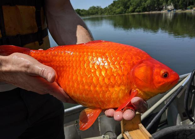 Giant goldfish found in Minnesota lake