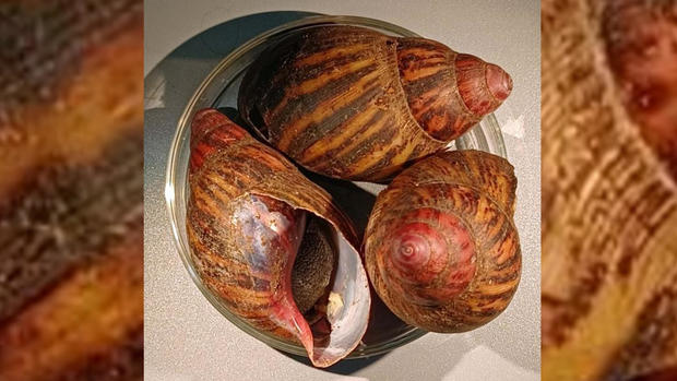 giant-land-snails-seized.jpg
