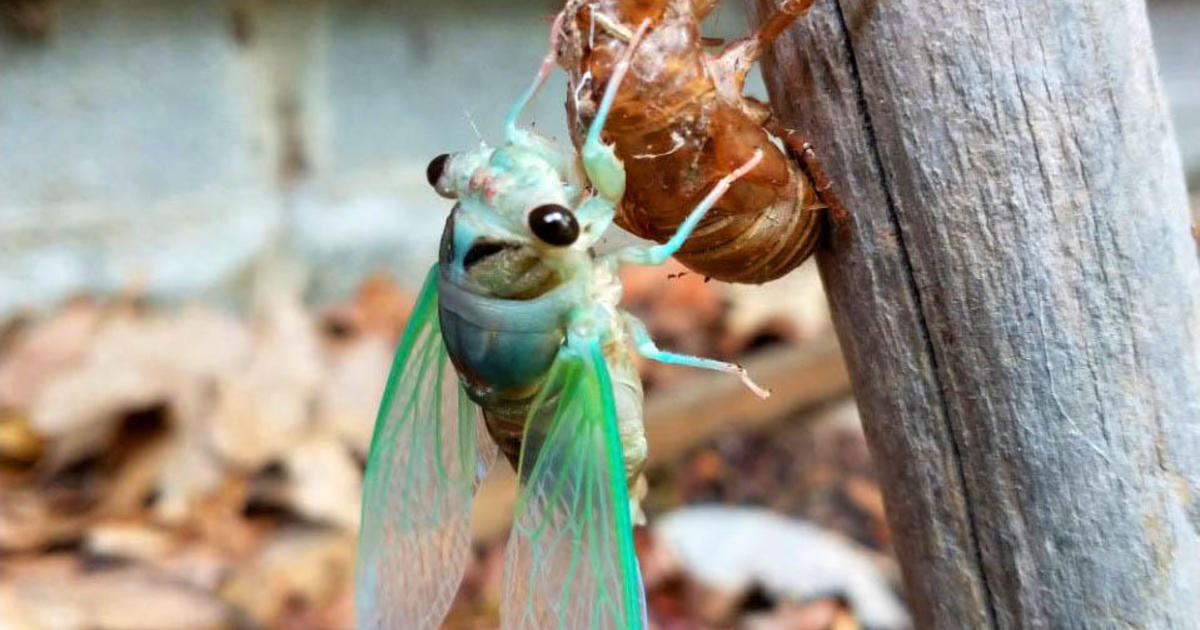 """A new, larger type of cicada is emerging — and they have big black eyes and """"like to scream"""""""