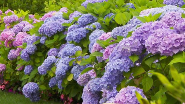 hydrangeas-pink-purple.jpg