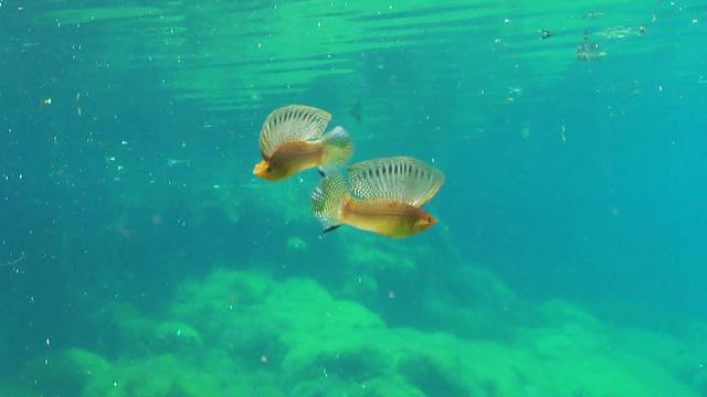 sailfin-mollies-768063-640x360.jpg
