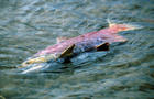 Dead Salmon after spawning
