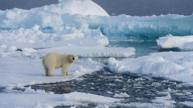 A polar bear (Ursus maritimus) on the pack ice north of