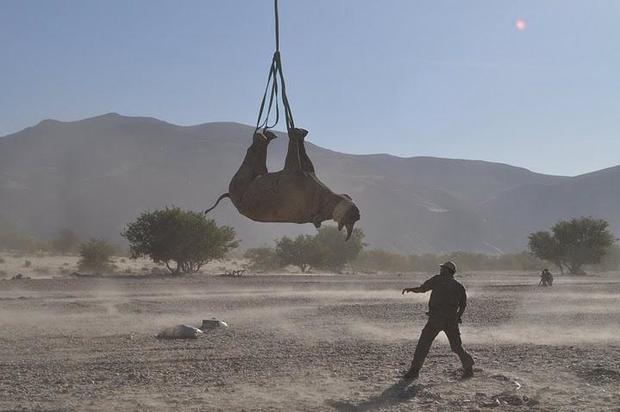rhino hanging