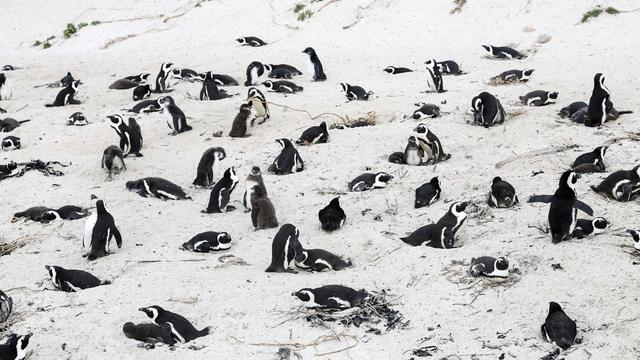 SOUTH AFRICA-SIMON'S TOWN-AFRICAN PENGUIN