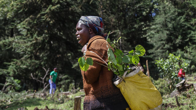 A woman carries tree seedlings in a bag on her back which